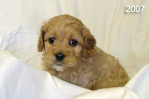 Example picture of Sis's previous Cockapoo puppies.  This is an apricot Cockapoo with a white chin.